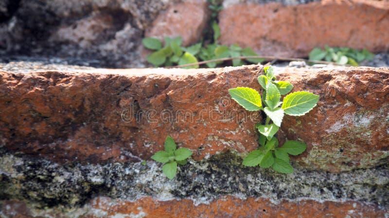 Деревья растя в кирпиче Старая старая красная кирпичная стена с малым зеленым ростком дерева в стене Концепция надежды и второго  стоковое фото rf