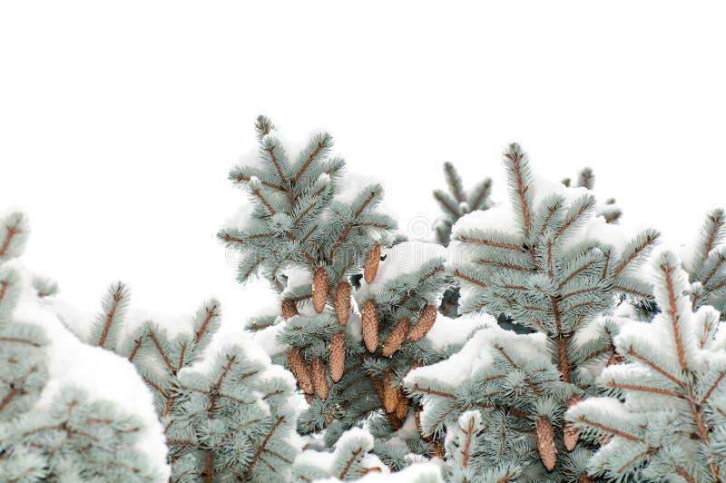 Деревья спруса сини ветви покрытые с конусами снежка стоковая фотография