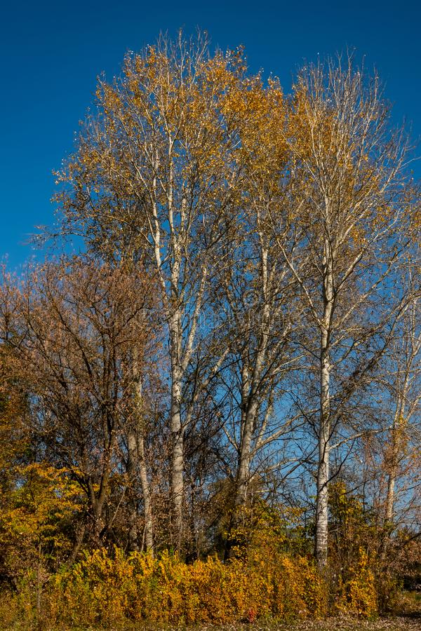 Деревья с желтой и золотой листвой против голубого неба на солнечный день в лиственном лесе стоковые изображения