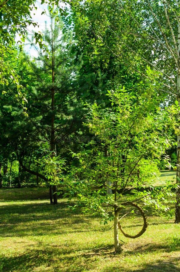 Деревья с изогнутыми хоботами и ветвями стоковые изображения rf