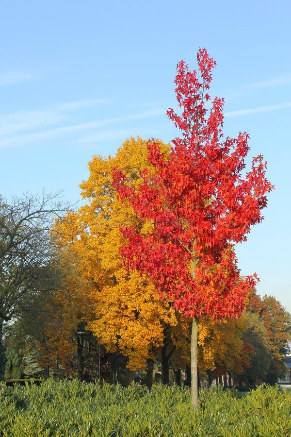Деревья с листьями красного цвета и желтого цвета в голубом небе в осени стоковая фотография rf