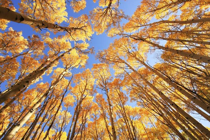 Деревья с цветом падения, национальный лес Aspen Сан-Хуана, Колорадо стоковые изображения rf