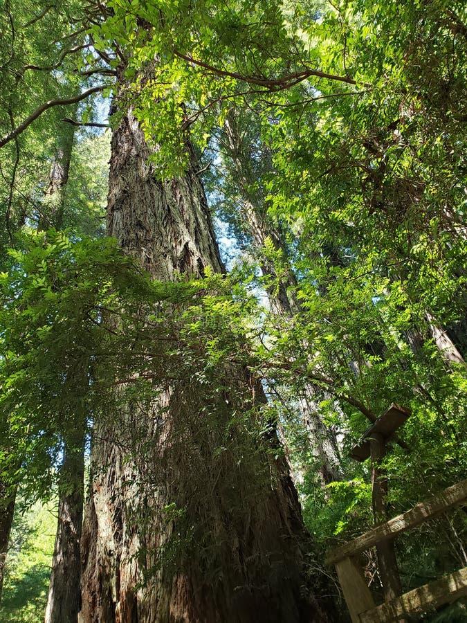 Деревья тайны Калифорнии стоковая фотография rf