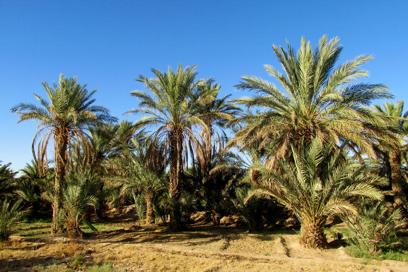 Деревья финиковой пальмы в тропической ферме стоковое изображение