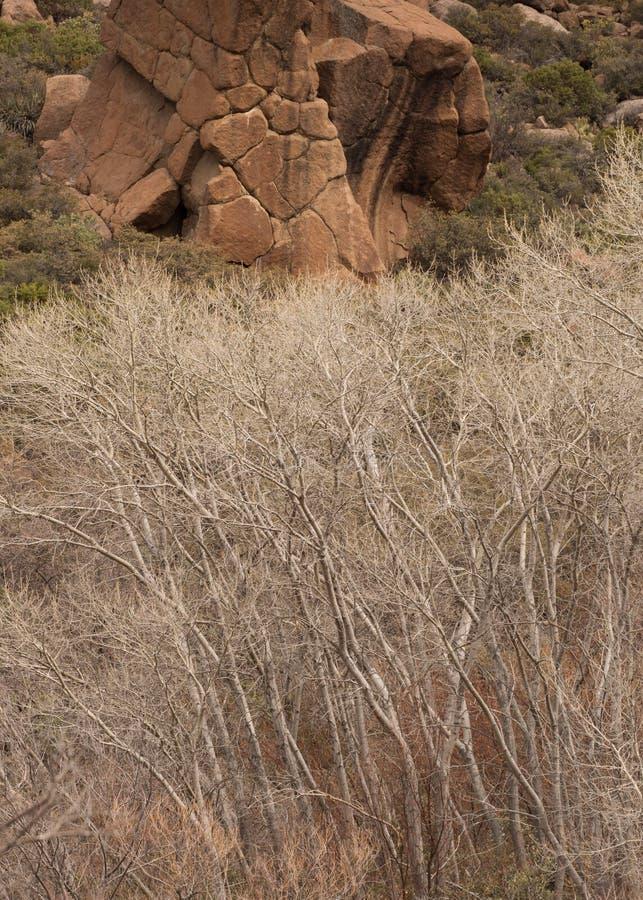 Деревья хлопока зимы чуть-чуть и большой красный валун стоковые изображения