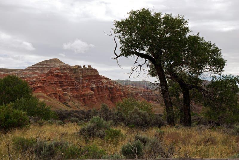 Деревья хлопока на Wind River неплодородными почвами стоковое изображение rf