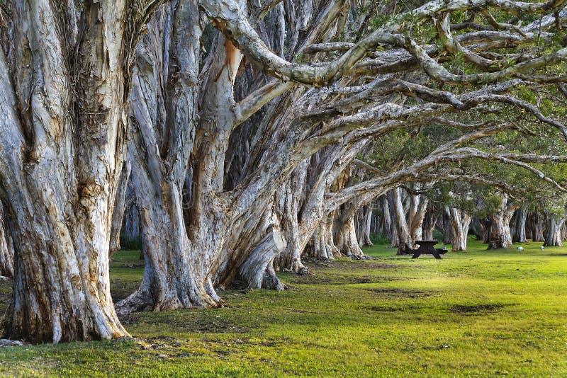 Деревья чая Сиднея Centennial закрывают стоковое фото rf