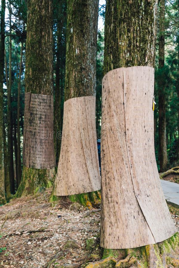 Деревья японского кедра которые снуют с мешковиной для предотвращения зимы коричневея в лесе в рекреационной зоне национального л стоковое фото rf