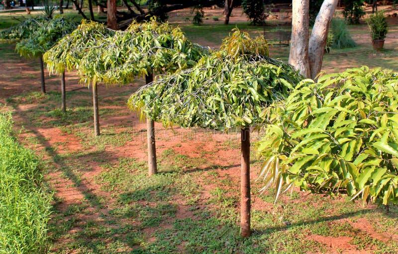 Деревья Asoka в парке стоковые фотографии rf