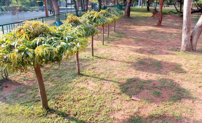 Деревья Asoka с тенью в парке стоковое фото rf