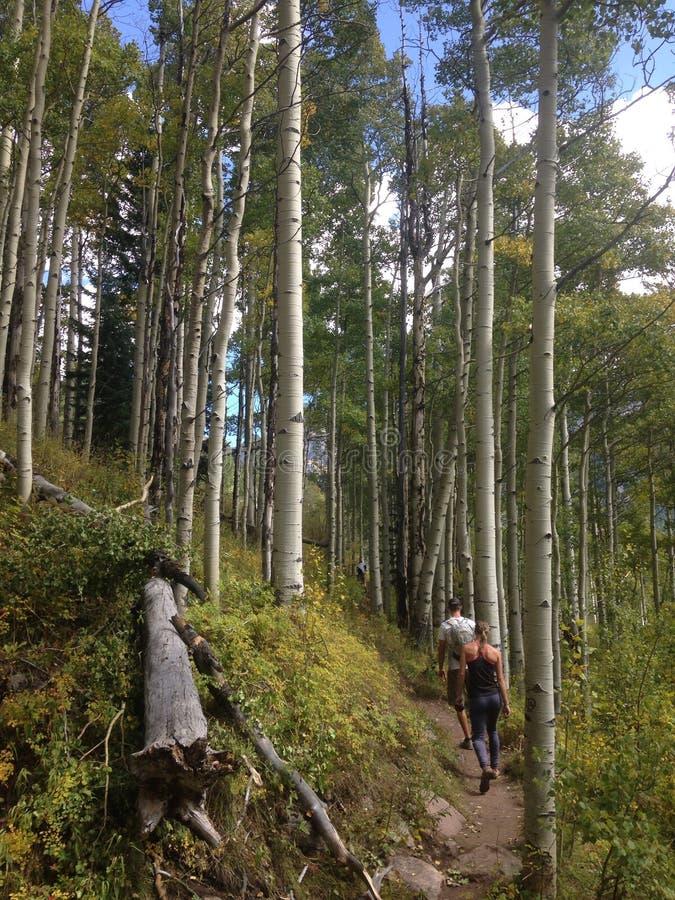 Деревья Aspen дальше стоковая фотография