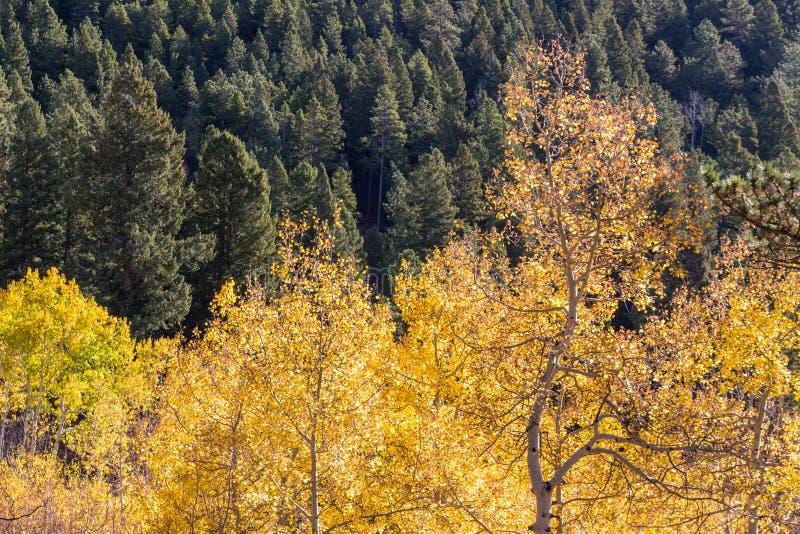 Деревья Aspen изменяя цвет против поля зеленых сосен стоковая фотография rf
