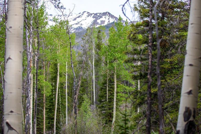Деревья Aspen обрамляя горный пик Snowy в национальном парке скалистой горы стоковые фото