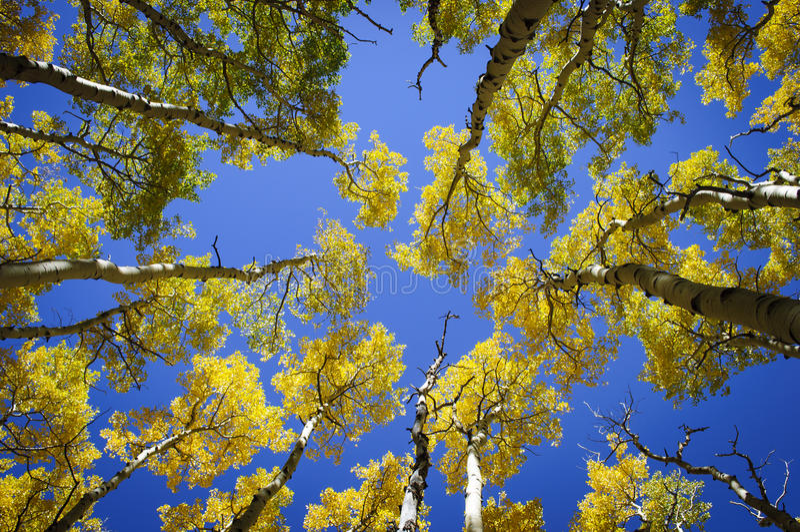 Деревья Aspen падения стоковое изображение rf