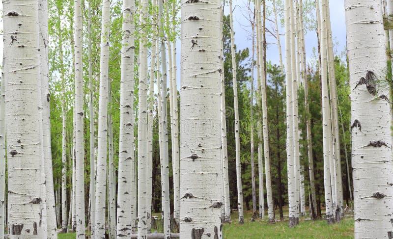 Деревья Aspen стоковые изображения rf