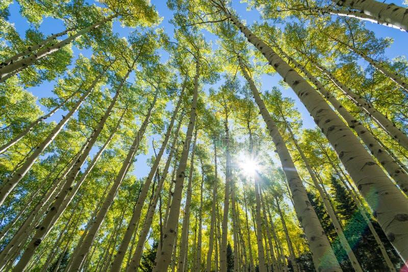 Деревья Aspen стоковое изображение rf