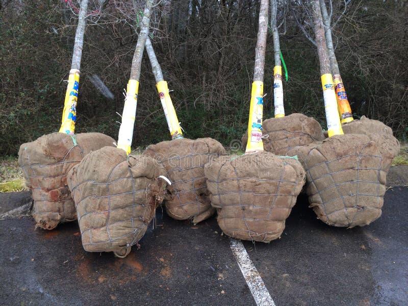 Деревья Balled и Burlapped стоковое изображение