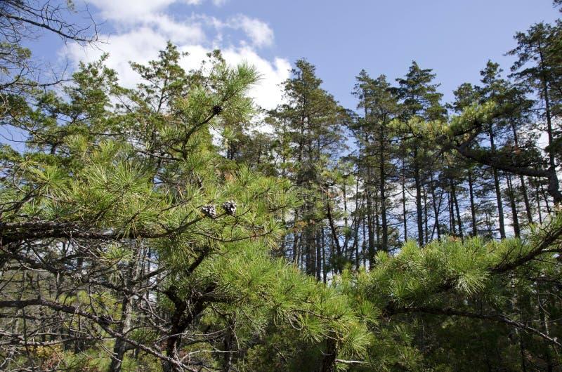 Деревья Barrens сосны стоковая фотография