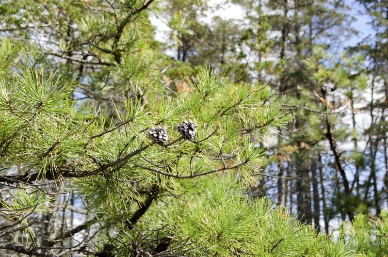 Деревья Barrens сосны стоковая фотография rf
