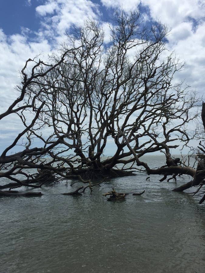 Деревья Driftwood стоковые изображения rf