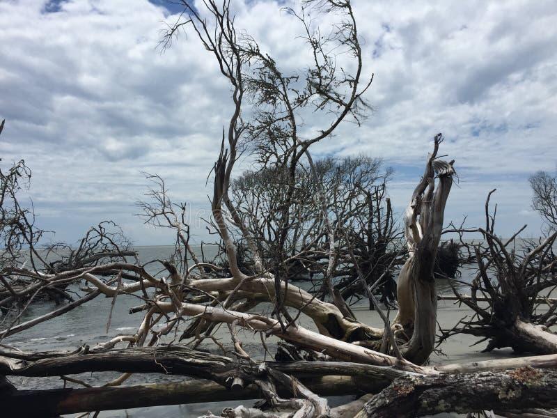 Деревья Driftwood стоковая фотография rf