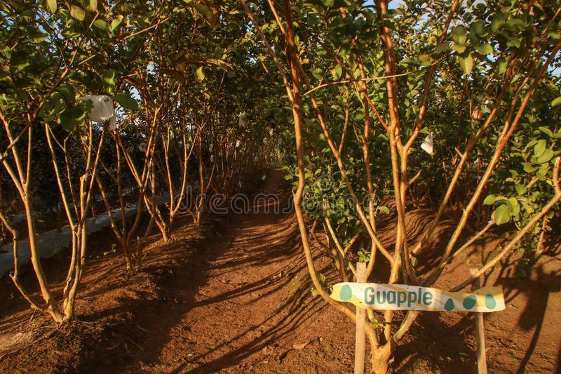 Деревья guajava l Psidium или Guava Яблока и популярно как Bayabas в филиппинском стоковое фото rf