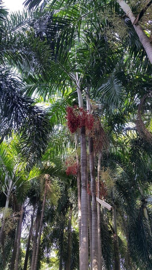 Деревья Plam с красными плодоовощами стоковая фотография