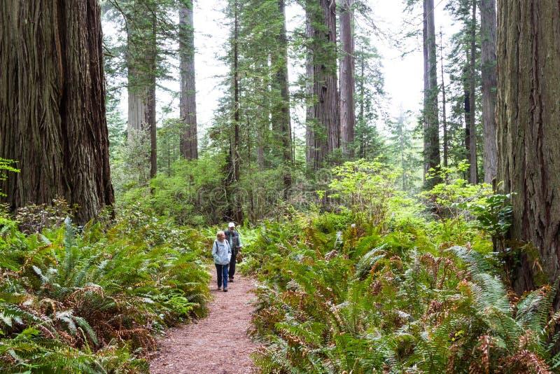 Деревья Redwood, Калифорния стоковые изображения