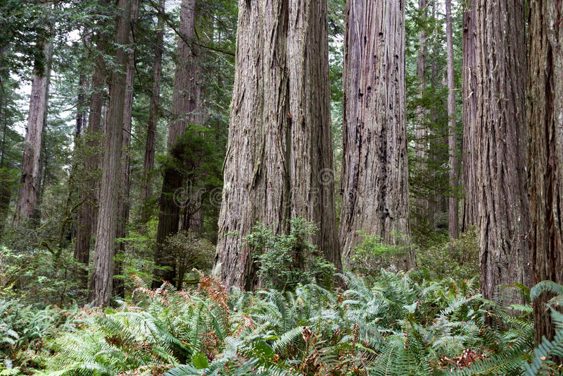 Деревья Redwood стоковая фотография
