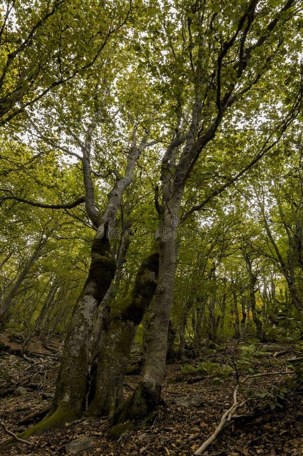 Деревья Simetrics в лесе стоковые фотографии rf