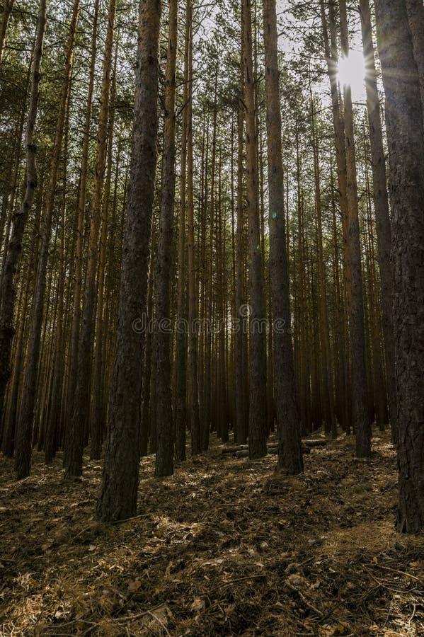 Деревья Simetrics в лесе стоковое фото