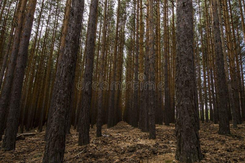 Деревья Simetrics в лесе стоковое изображение rf