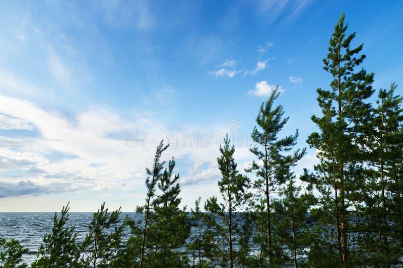 Деревья sylvestris Pinus Scots или шотландской сосны растя на дюнах Балтийским морем стоковое изображение rf
