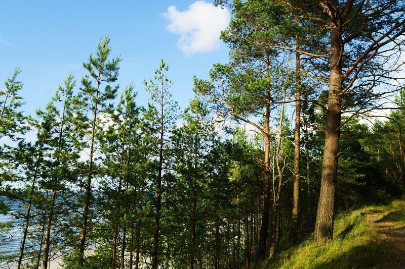 Деревья sylvestris Pinus Scots или шотландской сосны растя на дюнах Балтийским морем стоковая фотография rf