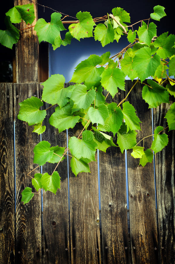 Деревянная веранда с листьями виноградины стоковая фотография rf