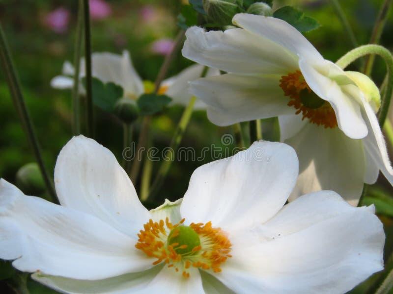Деревянная ветреница, зацветать Nemorosa ветреницы Цветки сада красивого лета белые стоковые фотографии rf