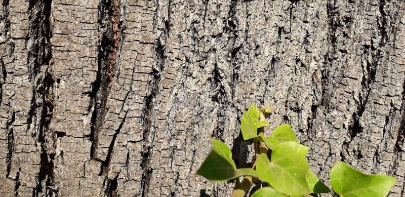 Деревянная кора с концом-вверх плюща стоковое фото