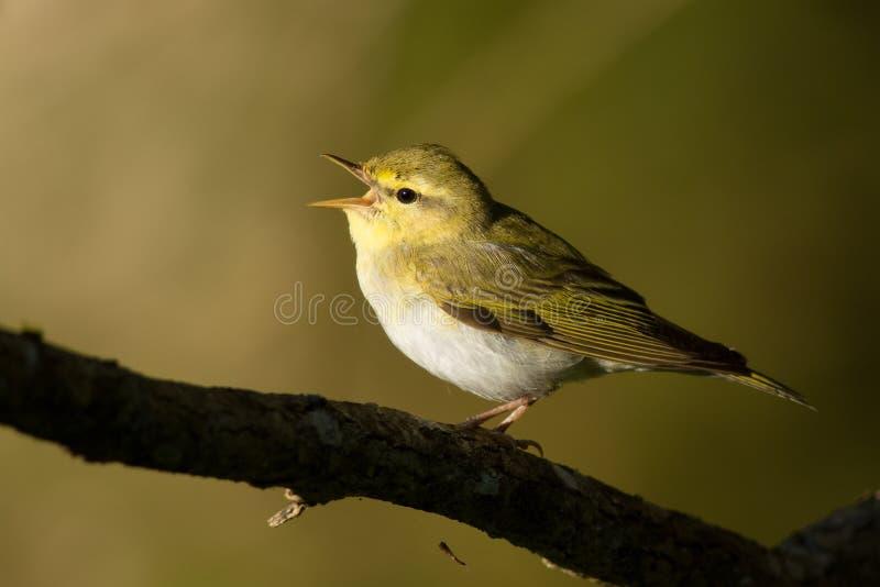 Деревянная певчая птица стоковое фото rf