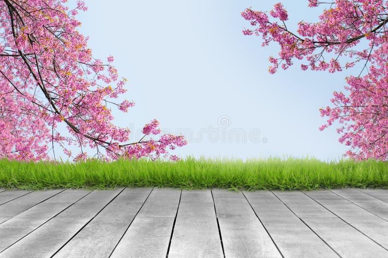 Деревянная планка и розовая предпосылка ветви вишневого цвета стоковые фото
