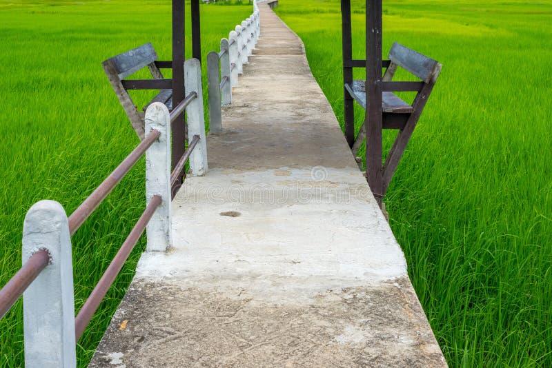 Деревянная скамья и конкретная дорожка в зеленом рисе field стоковые фотографии rf