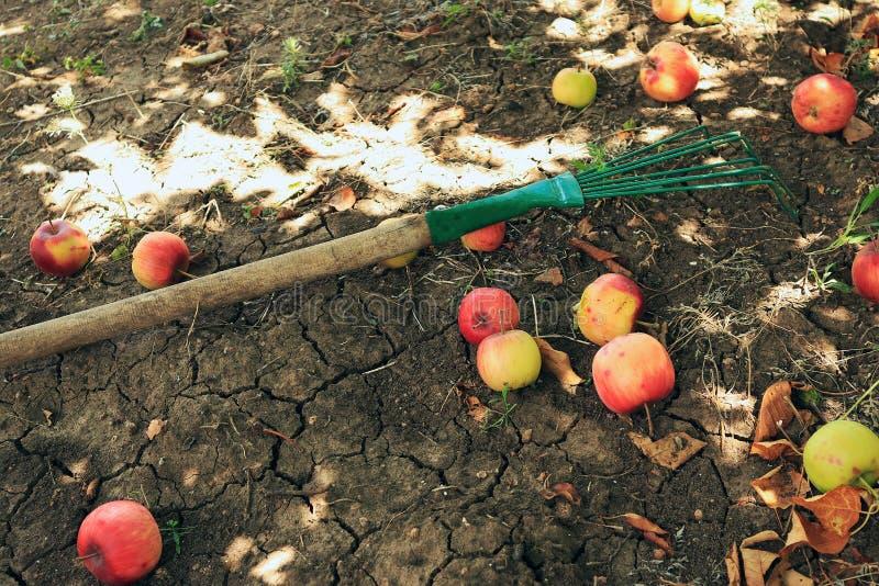Деревянная тяпка лежа на том основании рядом с упаденными зрелыми яблоками, сбором, садовничая стоковое изображение rf