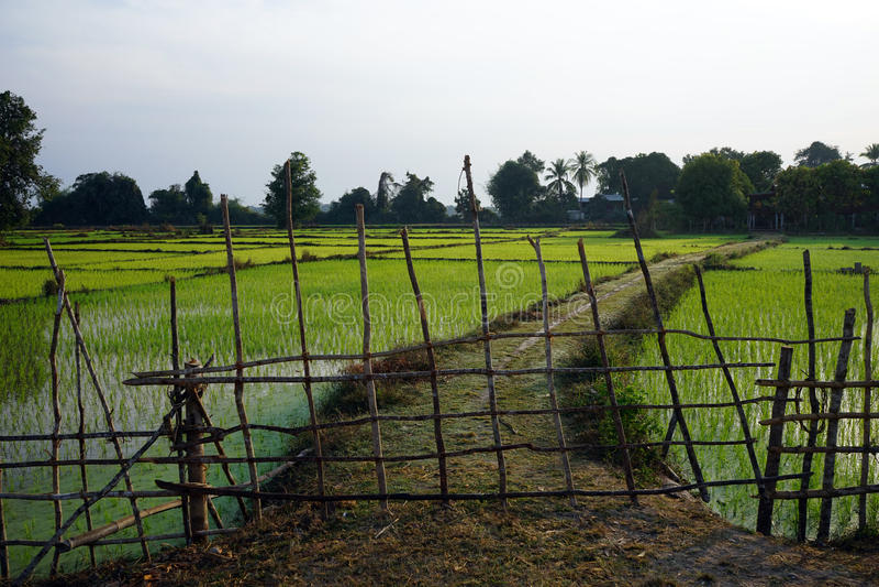 Деревянное поле загородки и риса стоковые фотографии rf