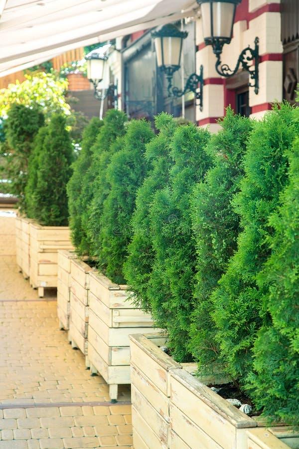 Деревянные вазы с вечнозелеными thujas стоковые изображения rf