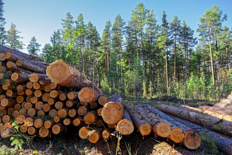 Деревянные журналы древесин сосны в лесе, штабелированные в куче стоковые фото