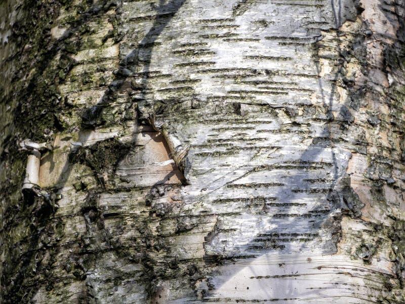 Деревянный фон с параллельными линиями на березовой коре стоковая фотография rf