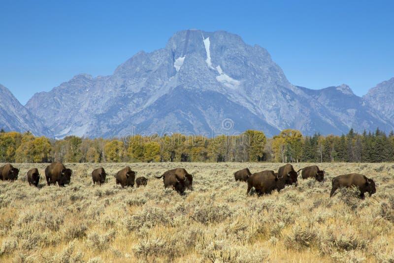 Держатель Moran и бизон, большой национальный парк Teton, Вайоминг стоковые изображения rf