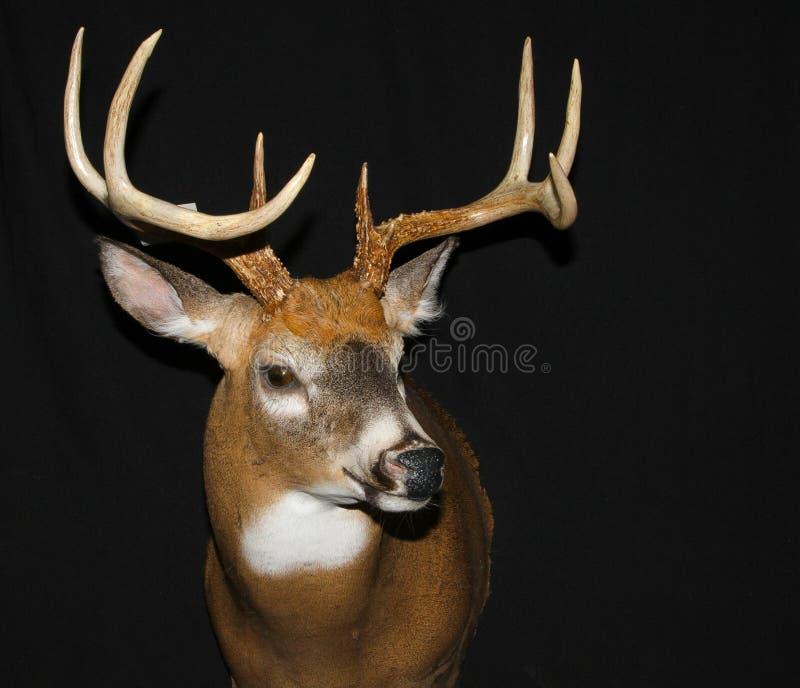 Держатель оленей Whitetail стоковое изображение rf