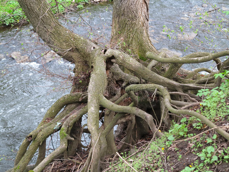 Держись крепк - корни дерева стоковая фотография