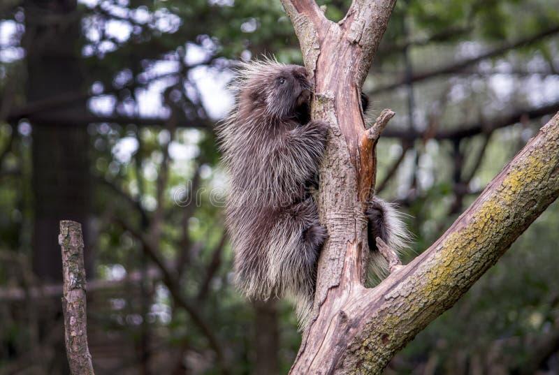 Держите на плотном дикобразе! spiky маленькое млекопитающее в дереве стоковое фото rf