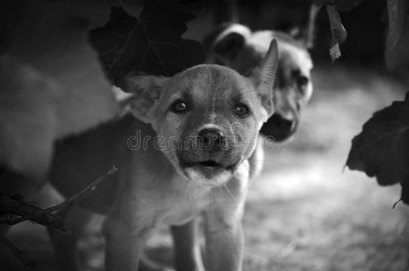 Дерзкий щенок атакует стрельбу промежутка времени фотографа стоковая фотография rf